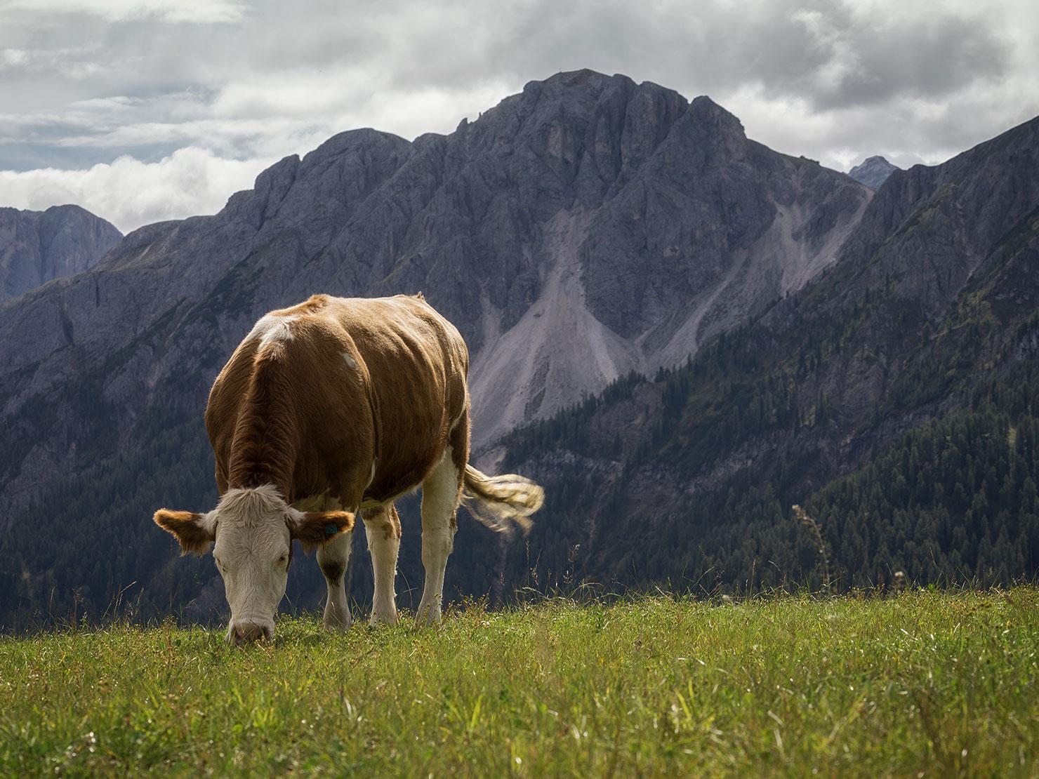 Eine braun-weiße Kuh die auf einer grünen Weide grast. Im Hintergrund felsige Berge.