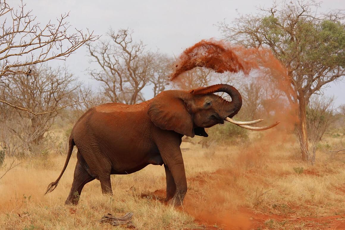Ein Elefant der Erde aufwirbelt